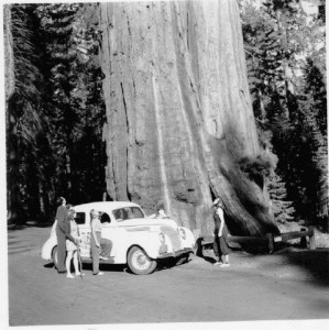 Immense, yes, but still dwarfed by redwoods.