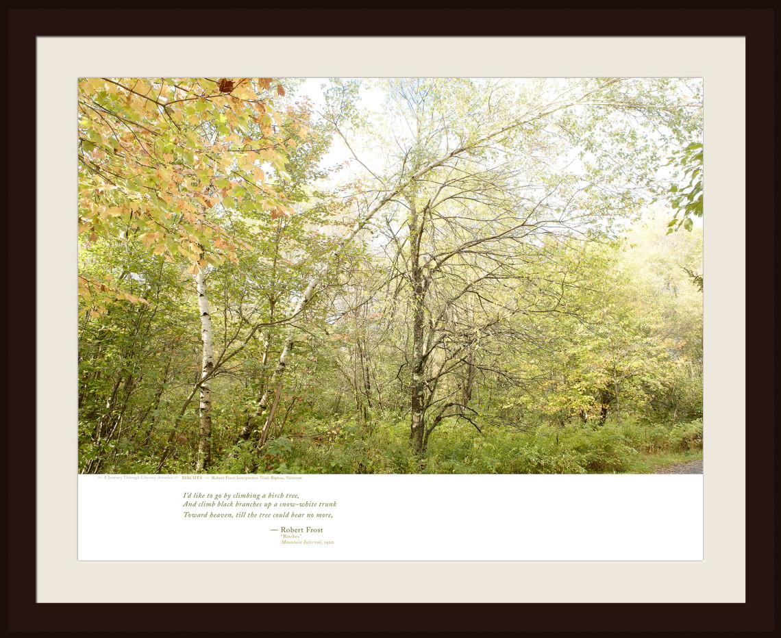 BIRCHES — Robert Frost Interpretive Trail. Ripton, Vermont
