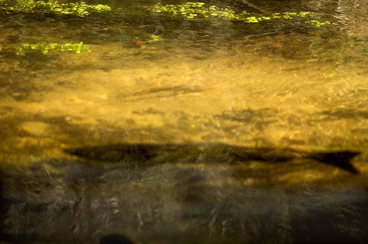 Photo of trout in the Horton Creek Nature Preserve — Horton Bay, Michigan