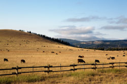 Photo of cattle in Wyoming