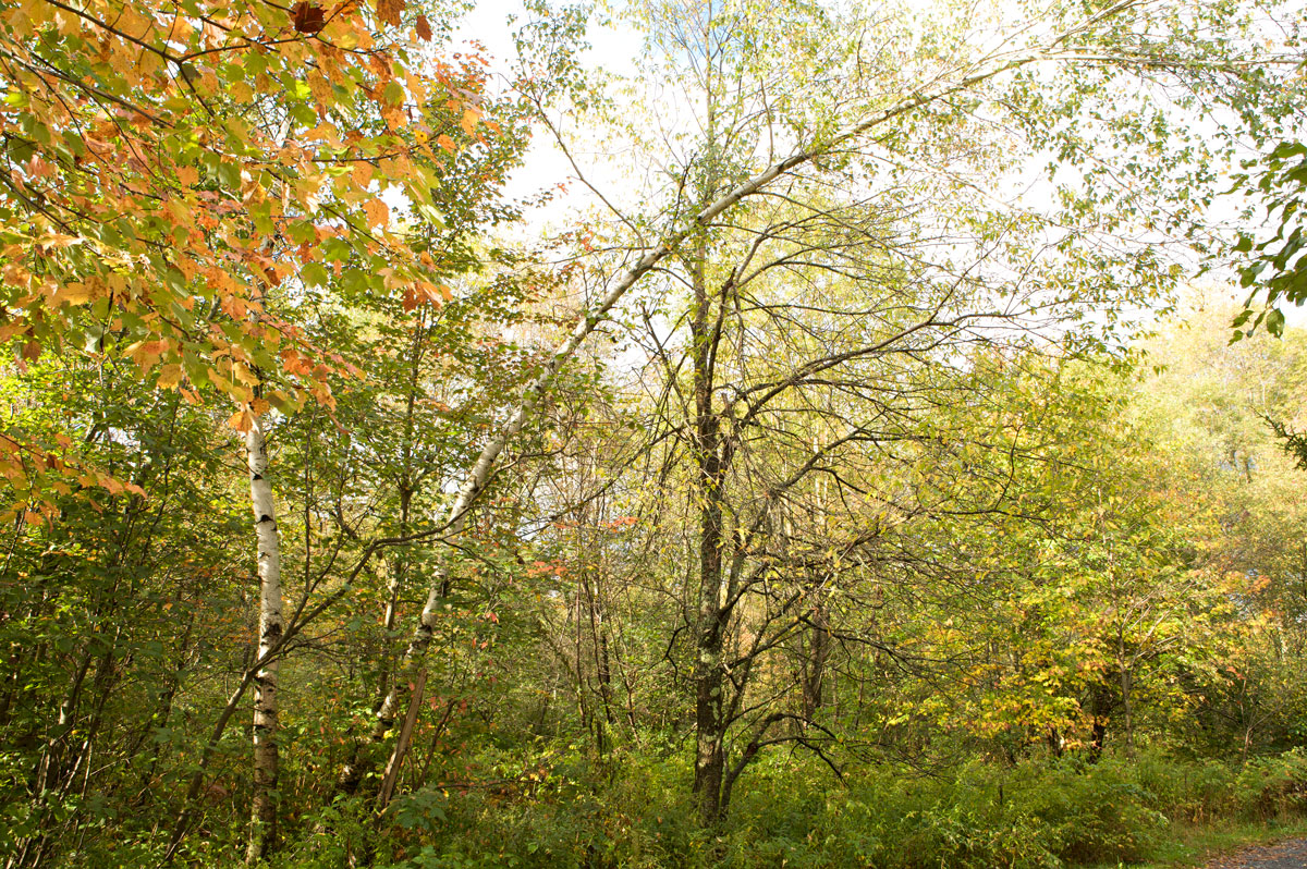 Photo of Birch trees at the Robert Frost Interpretive Trail. — Ripton, Vermont