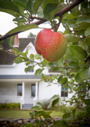 Photo of Apple at Frost farmhouse — Derry, New Hampshire